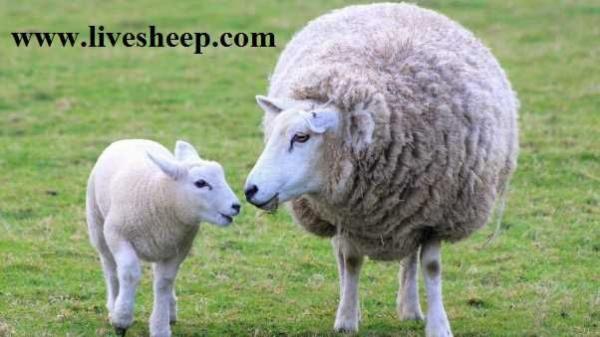 خرید گوسفند زنده به صورت اینترنتی